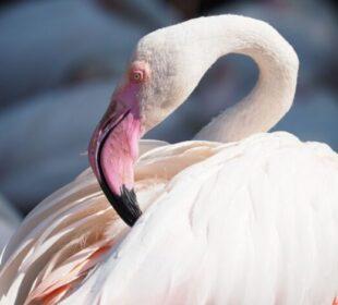 Фламинго, қоқиқаз